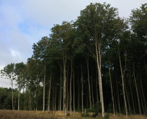 Stolte-træer
